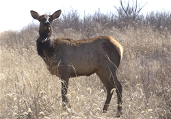 Fort Riley Elk