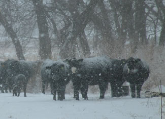 Snow covered cattle