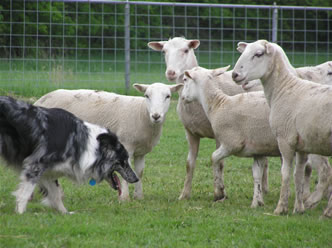 Dog herding sheep.